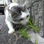 猫に取り付いたダニ(マダニ)の取り方、アルコールか酢を使おう!